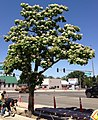 2014-06-12 10 43 09 Catalpa speciosa in flower along Nevada State Route 289 (Winnemucca Boulevard) near U.S. Route 95 (West Winnemucca Boulevard and Melarkey Street) in Winnemucca, Nevada-cropped.jpg