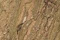 20151122 018 weerdbemden Boomkruiper (22581010183).jpg