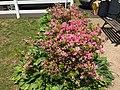 2016-05-12 13 00 58 'Rosebud' Azalea blooming along Terrace Boulevard in Ewing, New Jersey.jpg