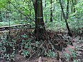 2016-07-20 14 24 04 Bald Cypress knees at the Battle Creek Cypress Swamp in Calvert County, Maryland.jpg
