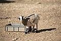 2017-10-23 French Goat (freddy2001).jpg