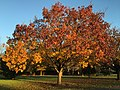 2017-11-29 16 09 03 A Bradford Pear in late autumn along Franklin Farm Road near Tranquility Lane in the Franklin Farm section of Oak Hill, Fairfax County, Virginia.jpg
