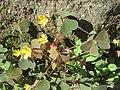 20170718Oxalis corniculata.jpg