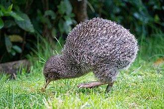 Little spotted kiwi - Foraging at Zealandia EcoSanctuary, Wellington