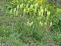 2019-05-19 (367) Reseda lutea (yellow mignonette) in Emmersdorf an der Donau, Austria.jpg