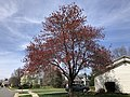 2020-03-22 13 53 45 A Red Maple heavily laden with immature seeds along Hidden Meadow Drive in the Franklin Glen section of Chantilly, Fairfax County, Virginia.jpg
