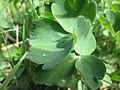 20200508Aquilegia vulgaris6.jpg