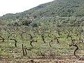 207 Vinyes de les Rocasses (Vespella de Gaià).jpg