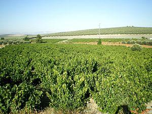 Pedro Ximénez - Pedro Ximénez vines growing in the Montilla-Moriles region.