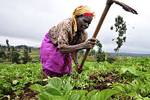 femme dans un champ travaillant la terre avec une houe