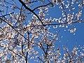 4月6日の桜 - panoramio.jpg