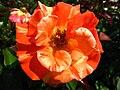 4494 - Bern - Rosengarten - Rose.JPG