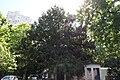 51-101-5022 «Тис ягідний», м. Одеса, Обсерваторний пров., 3.jpg