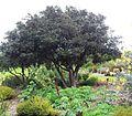 5 Diospyros whyteana - Cape Ebony tree 9.jpg