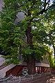 61-101-5005 Ternopil Linden DSC 9797.jpg