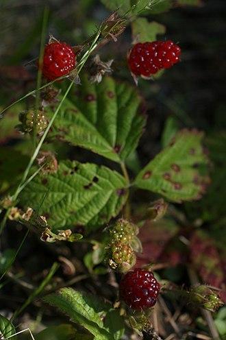 Rubus ursinus - Rubus ursinus berries.