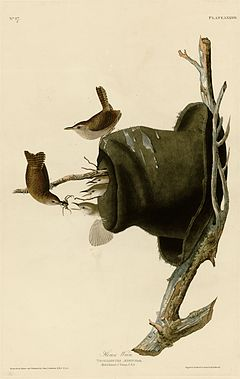 83 House Wren cropped-to-the-plate-only.jpg