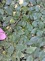 AZ0119 Ulmus minor aff. 'Microphylla'. Viewcraig Gardens, Edinburgh (01).jpg
