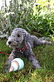 A Bedlington Terrier puppy.jpg