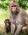 A Rhesus monkey mother and infant.jpg