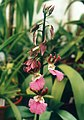 A and B Larsen orchids - Eulophia guineensis 789-30.jpg