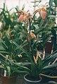 A and B Larsen orchids - Paphiopedilum Lady Isabel x praestans 745-15.jpg