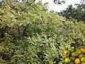 A gabirobeira é um arbusto silvestre, típico do cerrado brasileiro, acostumado a se desenvolver em clima tropical quente e com baixo índice pluviométrico, e por esse motivo deve estar sempre exposto ao - panoramio.jpg