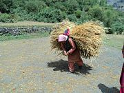 A lady harvesting in Ladakh