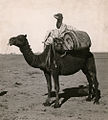 A wrapped juvenile camel rides between packs on a camel's back in Western Australia.jpg
