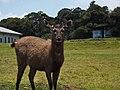 A young sambar deer.jpg