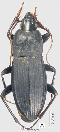 Abacoleptus carinatus ZooKeys-147-337-g017 A.jpg