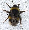 Abellon - Abejorro - Bumblebee - Bombus Terrestris - 01.jpg