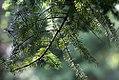 Abies-homolepis-(12).jpg