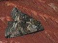 Abrostola tripartita - The Spectacle - Крапивная совка серая (27227827148).jpg