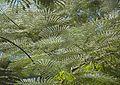 Acacia Abstract (2754433571).jpg