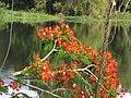 Acacia roja - Flamboyán (Delonix regia) (14298852783).jpg