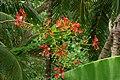 Acacia roja - Flamboyant (Delonix regia) - Flor (14343722568).jpg