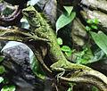 Acanthosaura capra, Zoo Prague.jpg