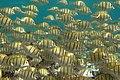 Acanthurus triostegus Réunion.jpg