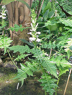 Acanthus montanus3.jpg