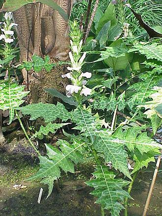Acanthus (plant) - Acanthus montanus