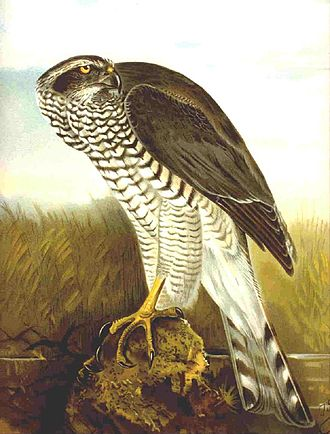 Johann Friedrich Naumann - Image: Accipiter gentilis, Naumann 1899