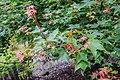 Acer cappadocicum ssp. sinicum in Hackfalls Arboretum (4).jpg