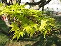 Acer palmatum - Aceraceae - Thunb. ex Murray - Fächer-Ahorn - Japan. Korea -13019 - Botanischer Garten der Universität Wien (47658342991).jpg