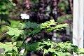 Acer palmatum Aka shigitatsu sawa 2zz.jpg