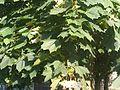 Acer platanoides 1 - Putney Heath Common 2011.08.02.jpg