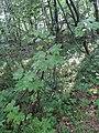 Acer sp. familija Sapindaceae 06.jpg