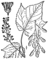Acer spicatum drawing.png