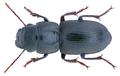 Acinopus (Acinopus) picipes (Olivier, 1795) (32264070620).png