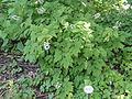 Actaea alba - Botanischer Garten, Frankfurt am Main - DSC02566.JPG